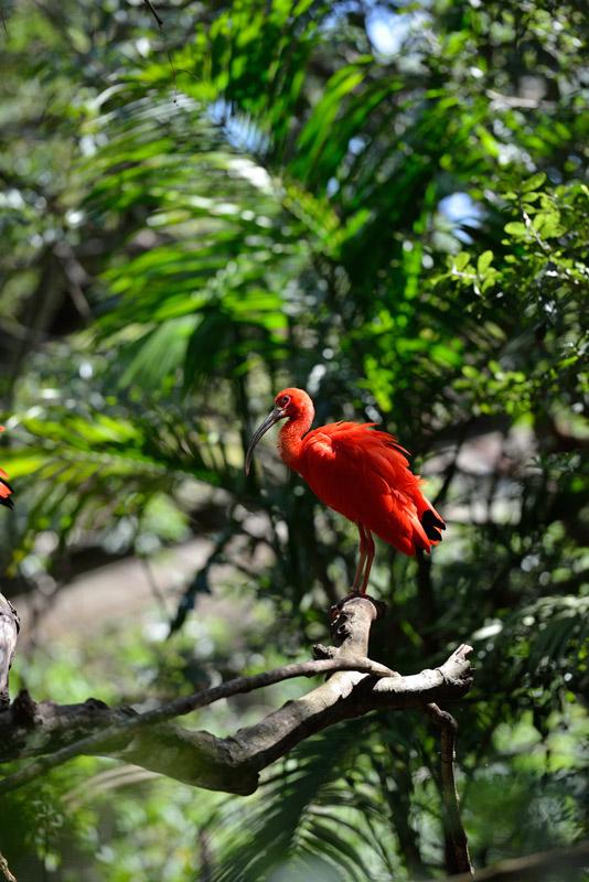 Фламинго. Парк Птиц. Игуасу. 0
