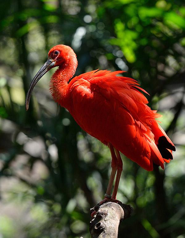 Фламинго. Парк Птиц. Игуасу. 1