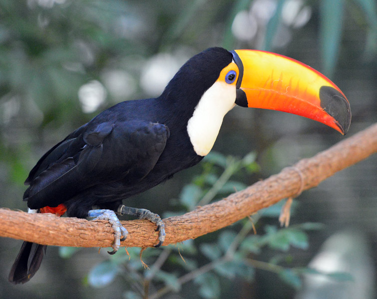 Тукан. Парк Птиц. Игуасу. Бразилия. Tucan. Bird Park. Iguacu. Brasil. 26