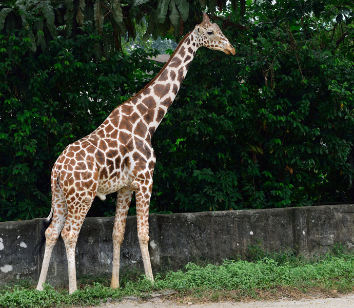 Зу Негара. Куала-Лумпур. Жираф.  2