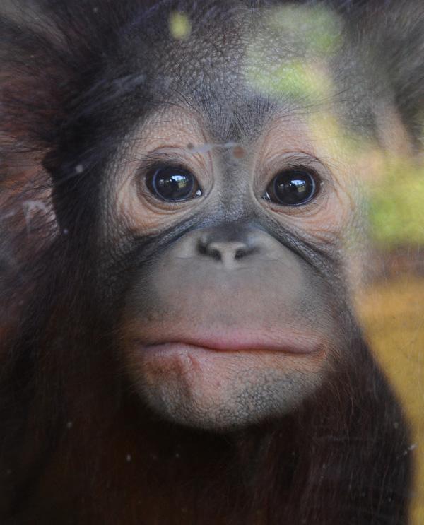 Орангутанг. 3