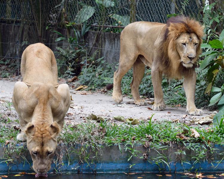 Зоопарк в Куала-Лумпуре. Лев и львица. 27