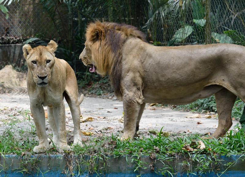 Зоопарк в Куала-Лумпуре. Лев и львица. 30