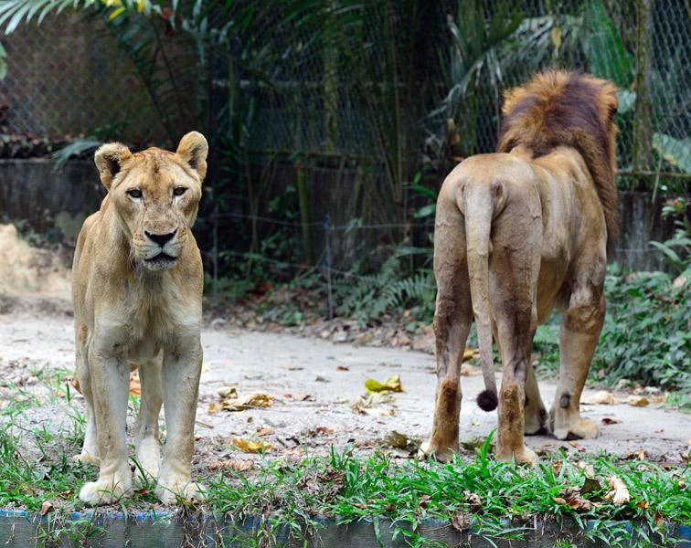 Зоопарк в Куала-Лумпуре. Лев и львица. 33
