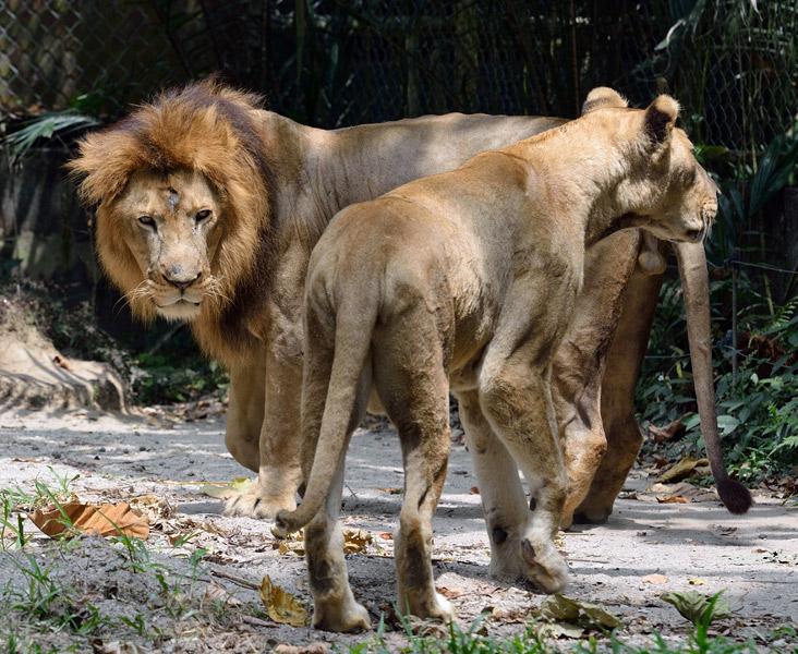 Зоопарк в Куала-Лумпуре. Лев и львица. 36