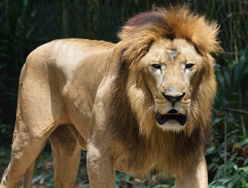 Зоопарк в Куала-Лумпуре. Портрет льва. 37