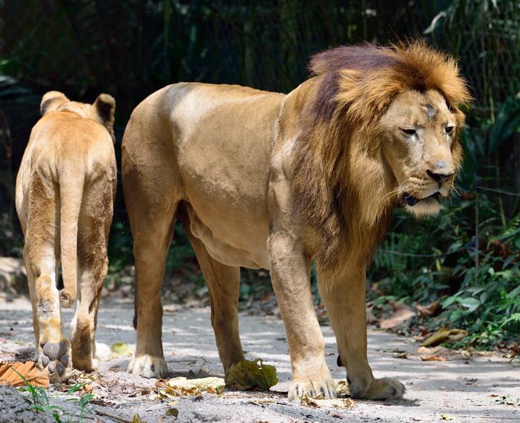 Зоопарк в Куала-Лумпуре. Лев и львица. 38