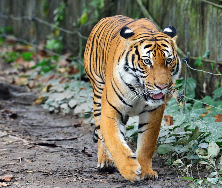 Зоопарк в Куала-Лумпуре. Тигр. 41