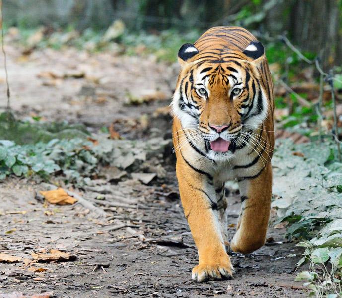 Зоопарк в Куала-Лумпуре. Тигр. 46