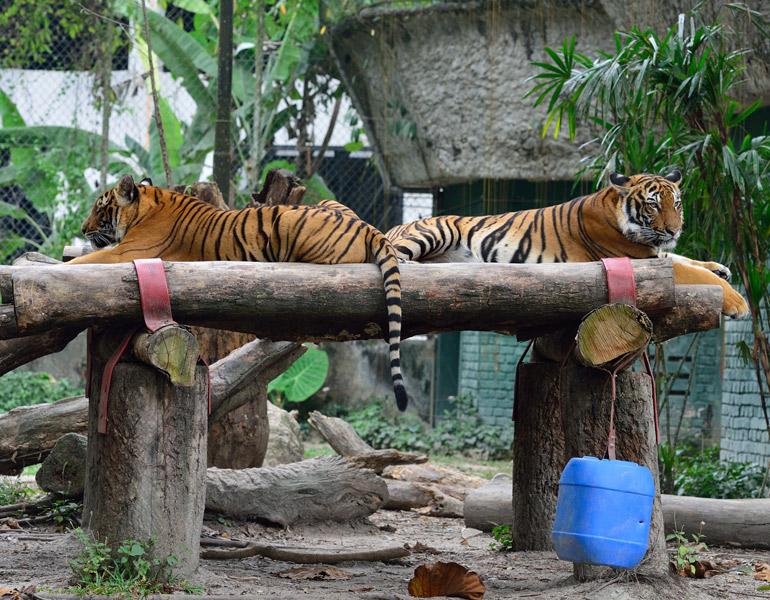 Зоопарк в Куала-Лумпуре. Тигры. 50
