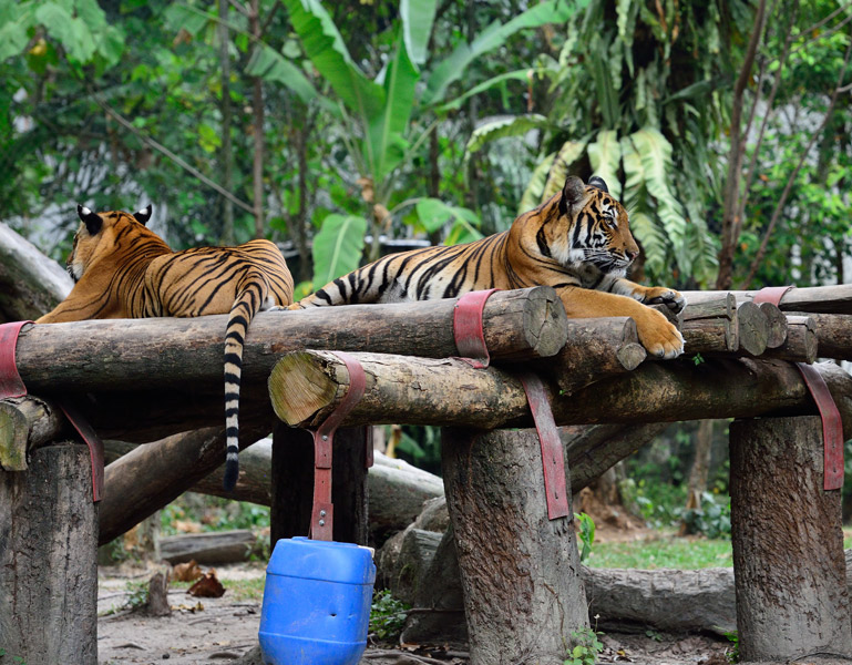 Зоопарк в Куала-Лумпуре. Тигры. 51