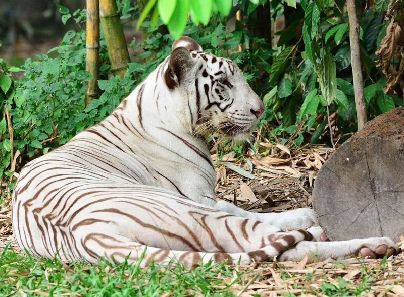 Зоопарк в Куала-Лумпуре. Белый тигр. 54