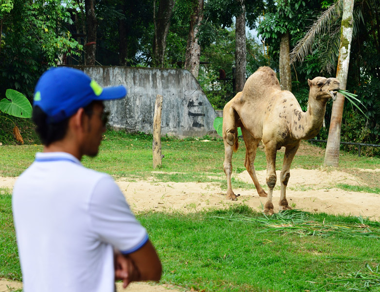 Зоопарк в Куала-Лумпуре. Верблюд. 62