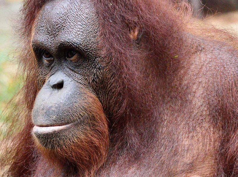 "Зоопарк в Куала-Лумпуре. Портрет обезьяны. Monkey""s Portrait. Zoo Negara. 1"