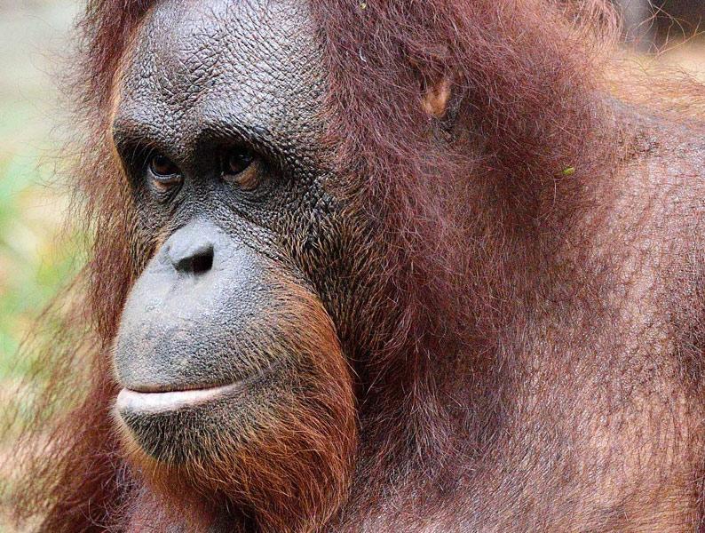 Зоопарк в Куала-Лумпуре. Портрет обезьяны. 70