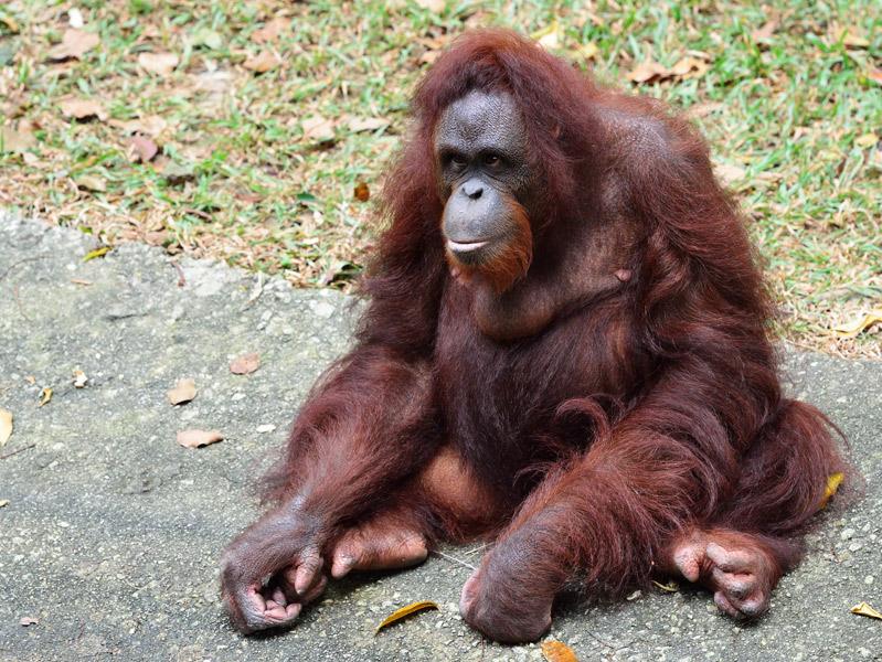 Зоопарк в Куала-Лумпуре. Обезьяна. 71