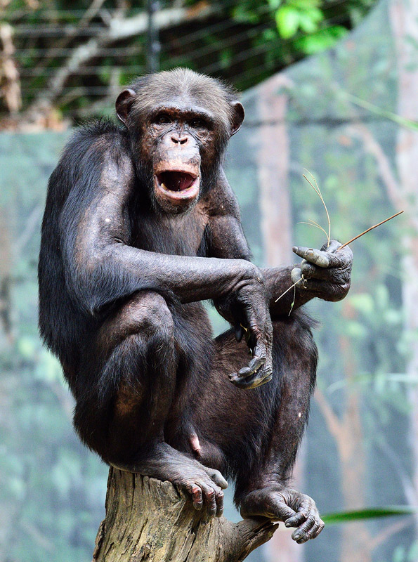 Зоопарк в Куала-Лумпуре. Обезьяна. 76