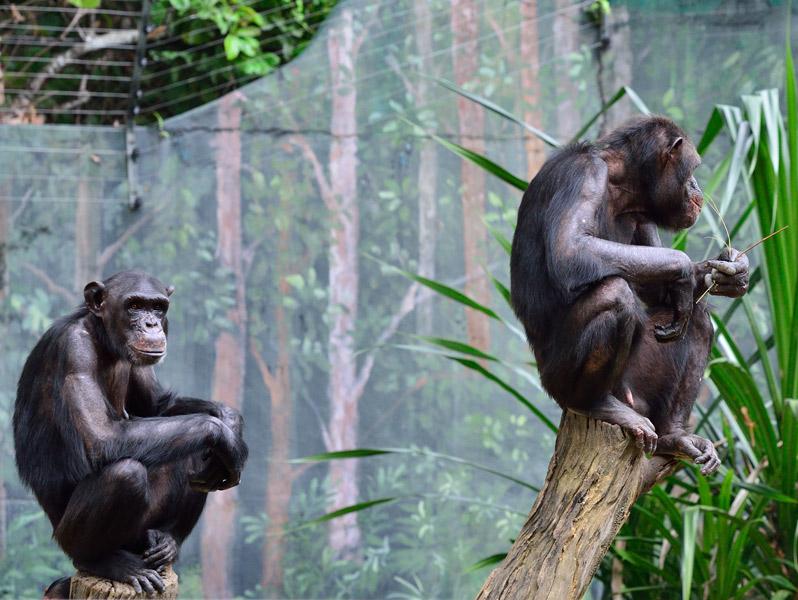 Зоопарк в Куала-Лумпуре. Обезьяны. 78