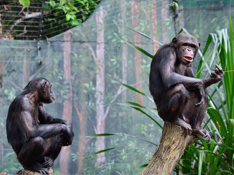 Зоопарк в Куала-Лумпуре. Обезьяны. 80