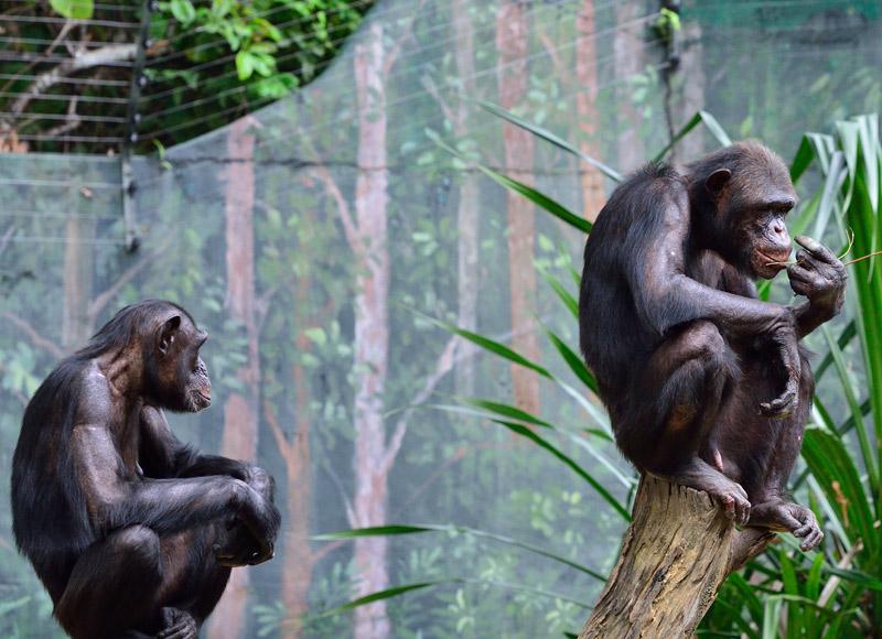 Зоопарк в Куала-Лумпуре. Обезьяны. 81