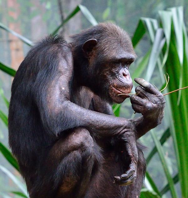 Зоопарк в Куала-Лумпуре. Обезьяна. 82