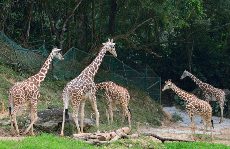 Зоопарк в Куала-Лумпуре. Жирафы. 86