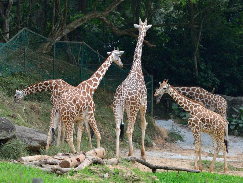 Зоопарк в Куала-Лумпуре. Жирафы. 87
