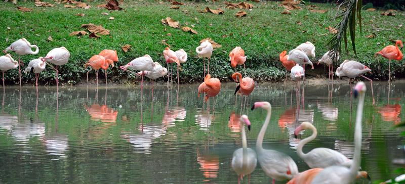 Зоопарк в Куала-Лумпуре. Фламинго. 92