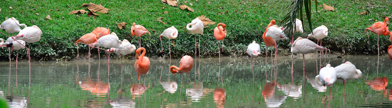 Зоопарк в Куала-Лумпуре. Фламинго. 93