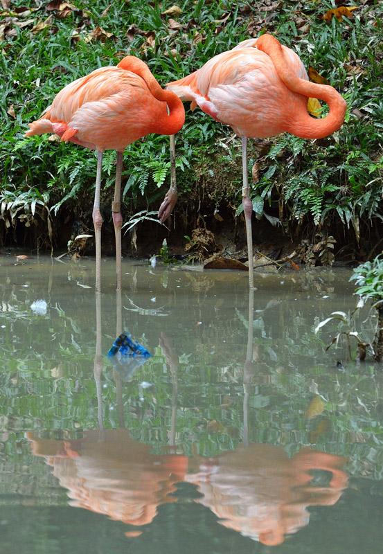 Зоопарк в Куала-Лумпуре. Фламинго. 94