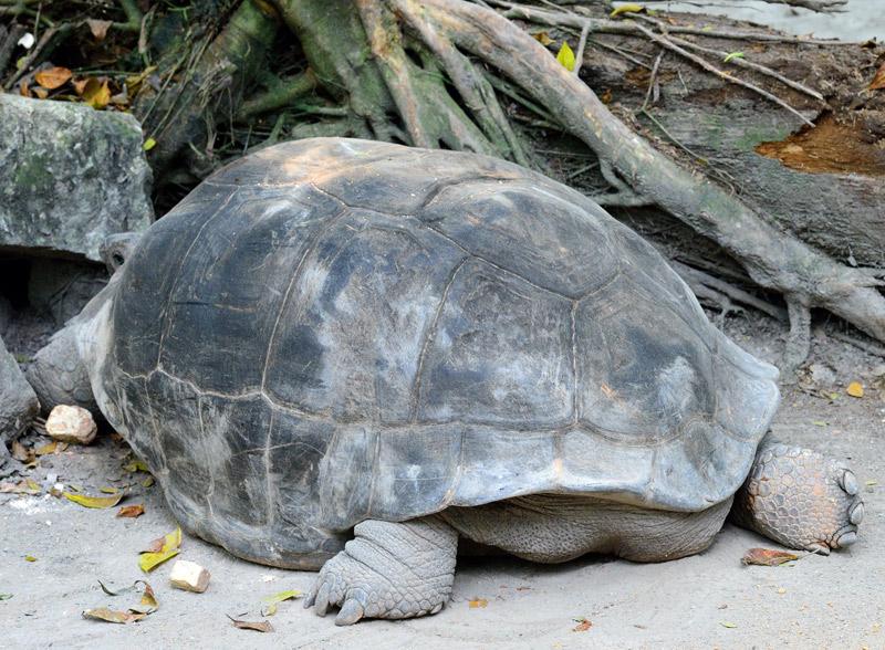 Зоопарк в Куала-Лумпуре. Черепаха. 96
