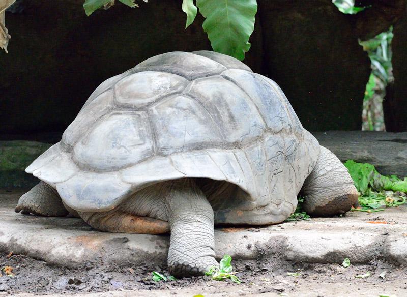 Зоопарк в Куала-Лумпуре. Черепаха. 95