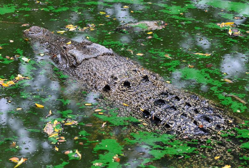 Зоопарк в Куала-Лумпуре. Крокодил. 103