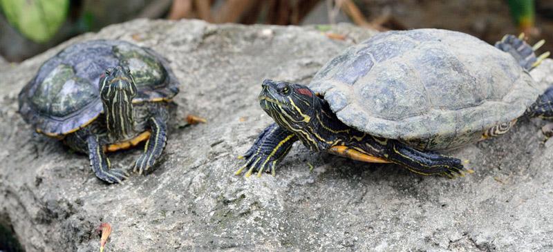 Зоопарк в Куала-Лумпуре. Черепахи. 99