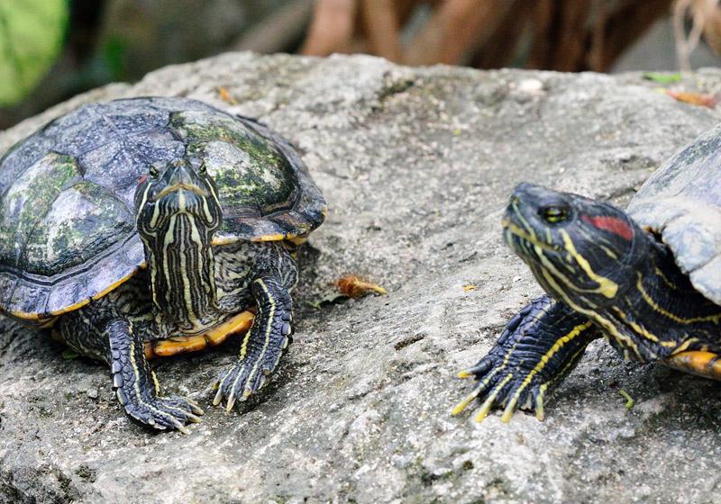 Зоопарк в Куала-Лумпуре. Черепахи. 100