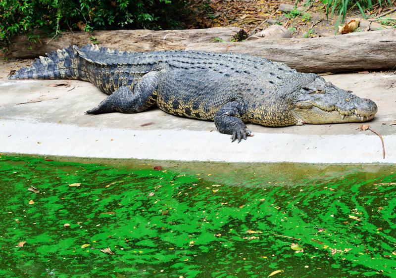 Зоопарк в Куала-Лумпуре. Крокодил. 102