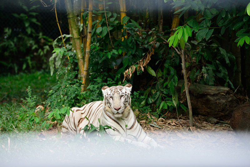 Белый тигр. ЗУ Негара. Куала-Лумпур.