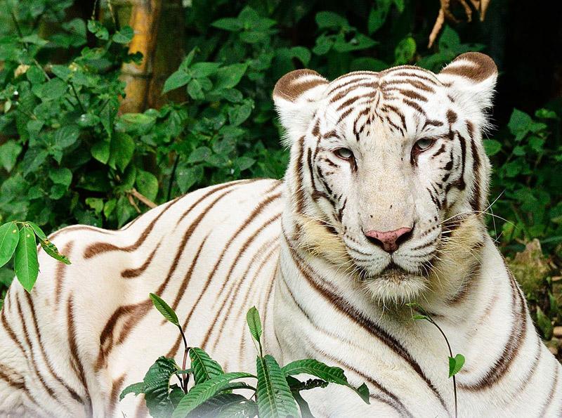 Портрет белого тигра. ЗУ Негара. Куала-Лумпур.