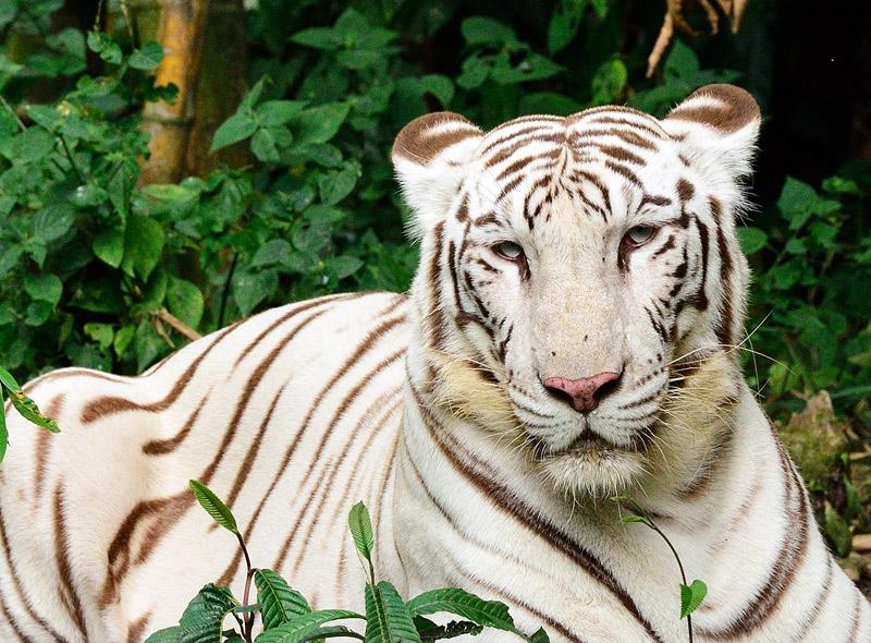 Зоопарк в Куала-Лумпуре. Белый тигр. 105