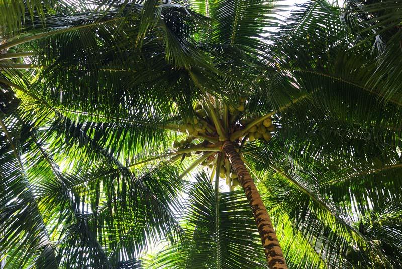 Пенанг. Пальмы. Penang. Palms.