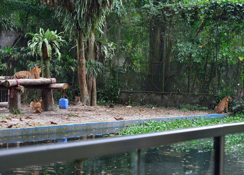 Зоопарк в Куала-Лумпуре. Тигры. 111
