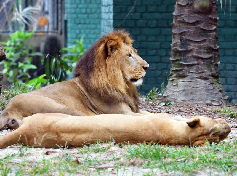 Зоопарк в Куала-Лумпуре. Лев и львица. 118