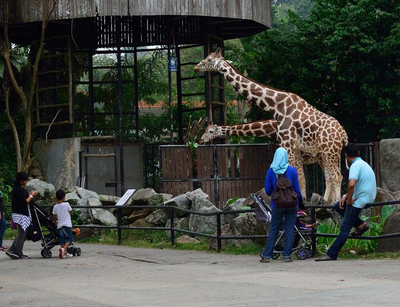 Зоопарк в Куала-Лумпуре. Жирафы. 122