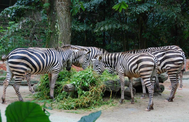 Сингапур. Зоопарк. Зебры. Singapore. ZOO.