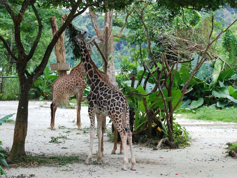 Сингапур. Зоопарк. Singapore. ZOO.