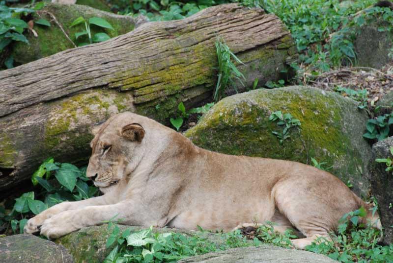 Сингапур. Зоопарк. Лев. Singapore. Zoo. Lion.