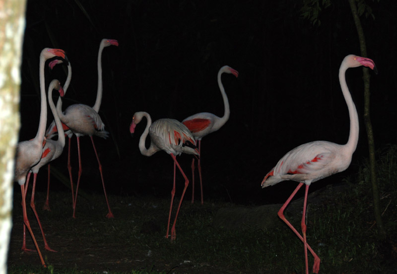 Сингапур. Зоопарк. Night Safari.