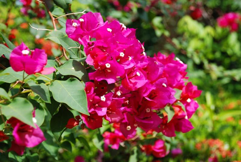 Пенанг. Цветы. Penang. Flowers.