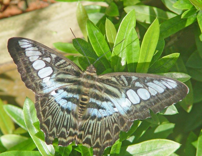 Пенанг. Бабочки. Penang. Butterfly.